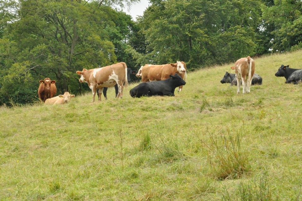 Englands Lake District - Cows