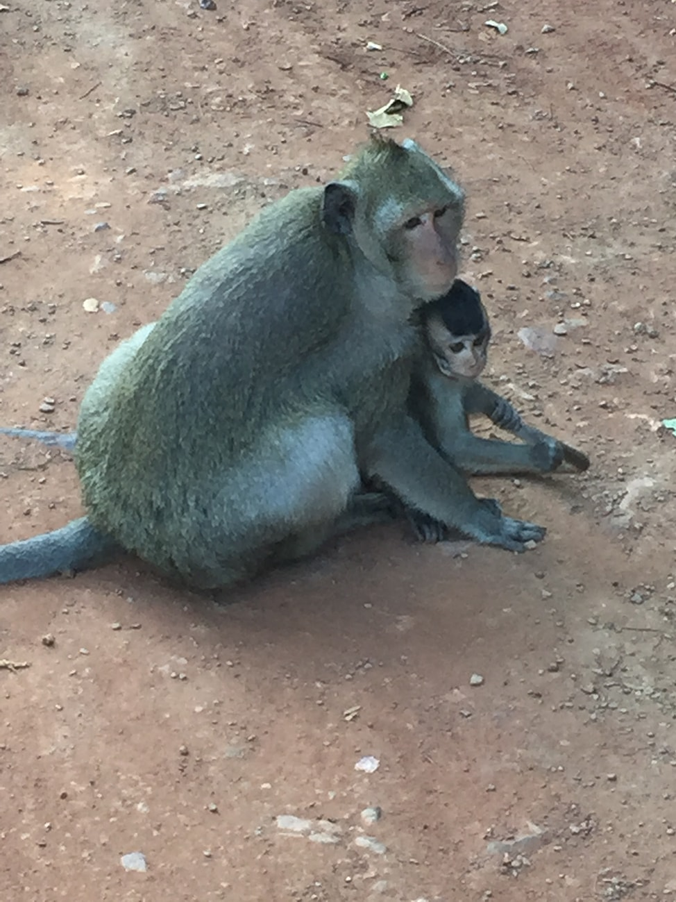 Image of mama and baby macaque at Angkor Wat